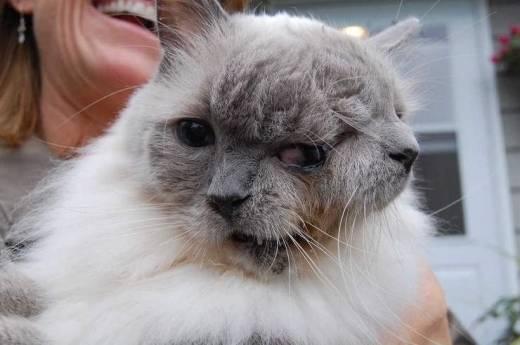 Conoce Al Gato De 2 Caras Más Longevo Del Mundo